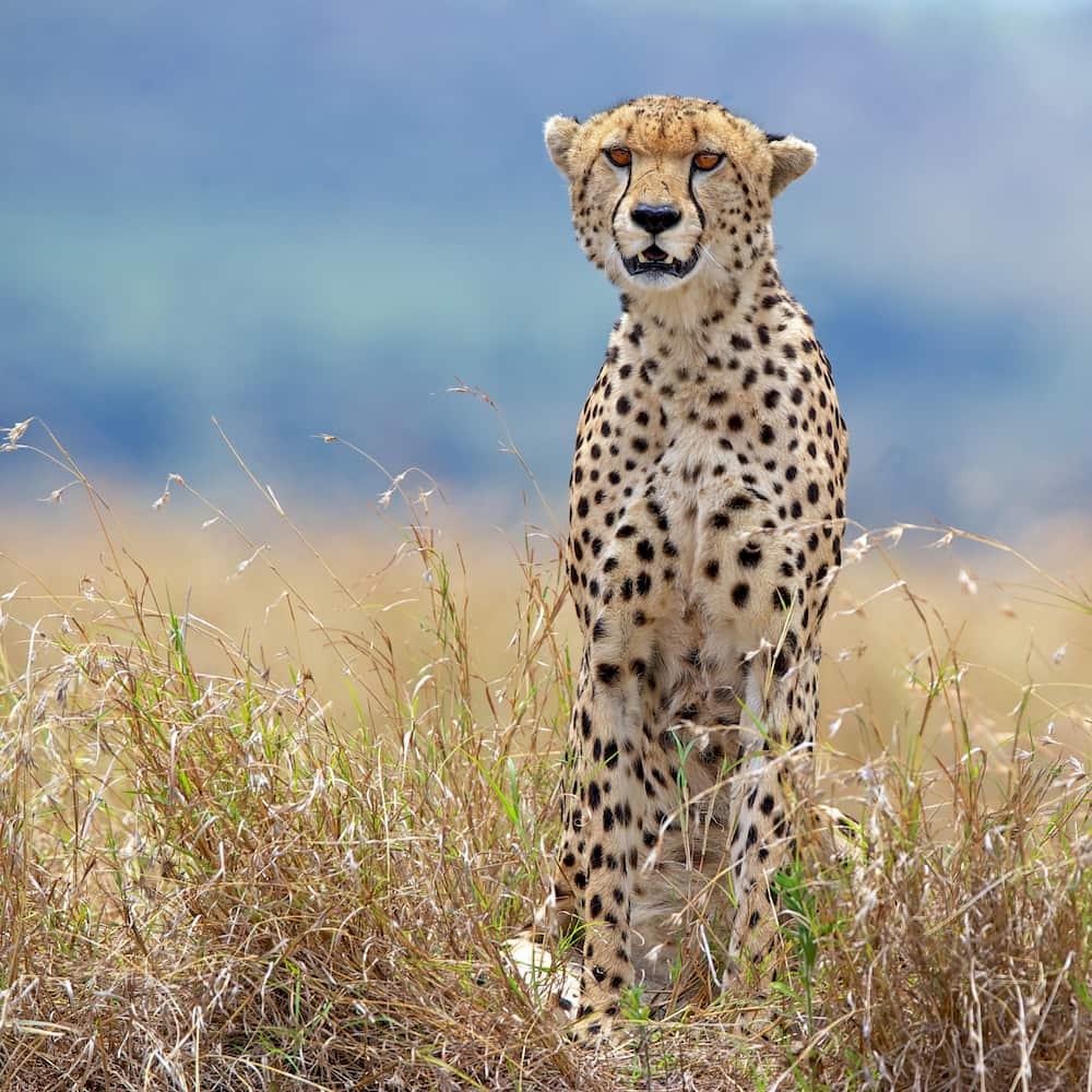 A cheetah stalks its prey in the long grass of the savannah.